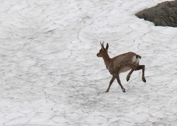 Chamois on snow