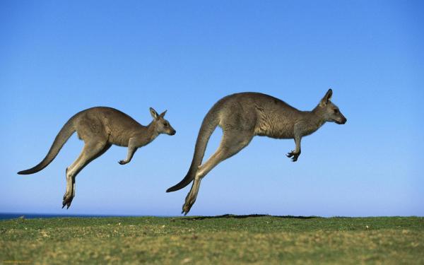 Kangaroos-jump