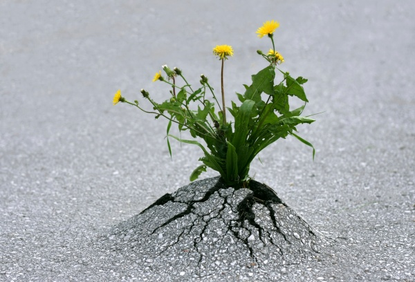 resilience-dandelion-through-asphalt