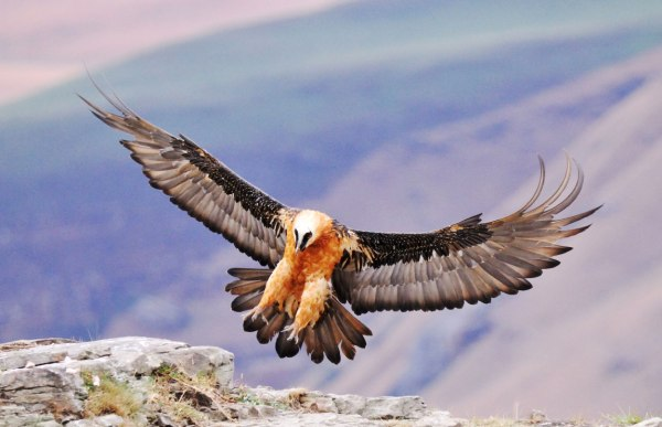 bearded-vulture-by-sonja-krueger