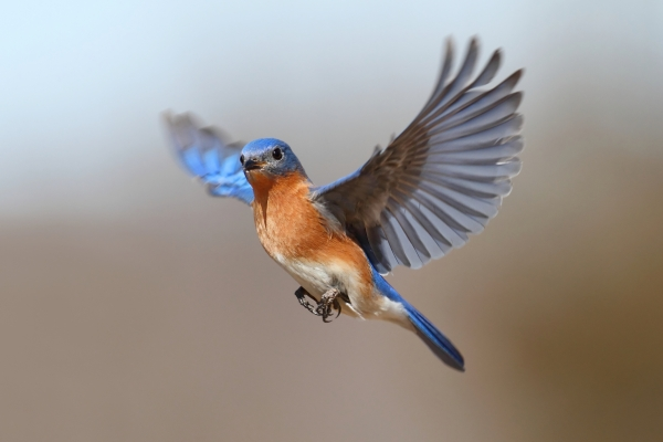 bluebird-in-flight