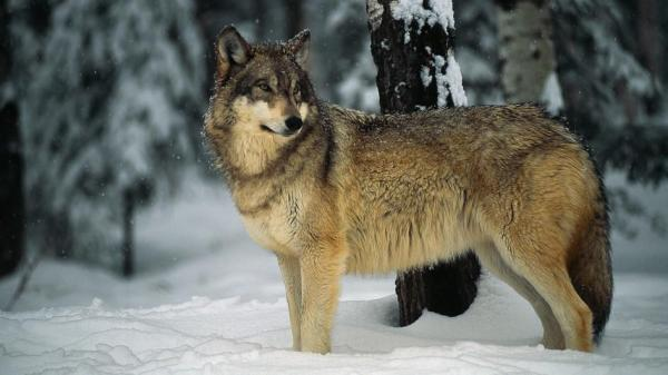 gray-wolf-snow-nationalgeographic