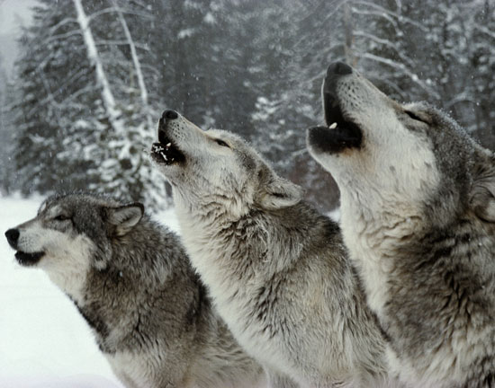 wolves-howling-fact-fixx
