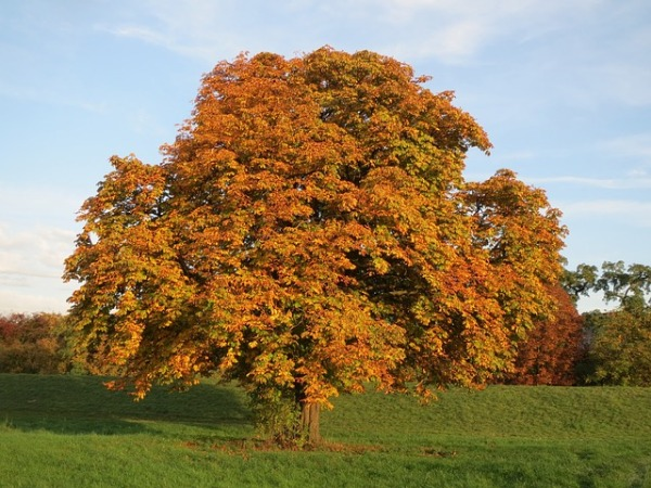 Autumn Aesculus Horse Chestnut Tree Orange Fall