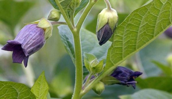 Atropa_belladonna_flowers