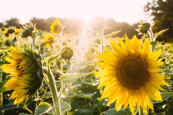 Sunflower-ElijahHail