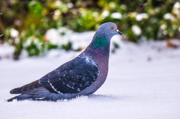 pigeonInSnow