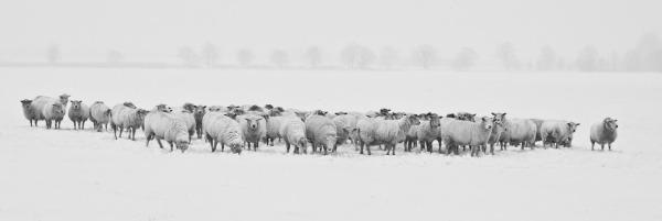 sheepWinter-1899441
