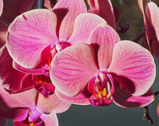 orchid-hpgruesen