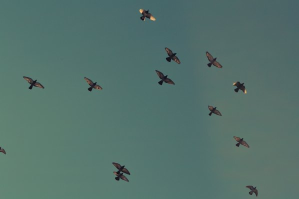 pigeons-FreSonneveld