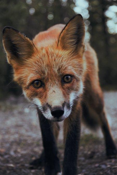 fox-sunyu